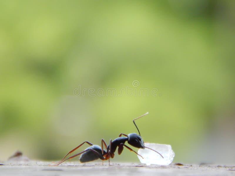 Ant Eating Sugar royaltyfri bild