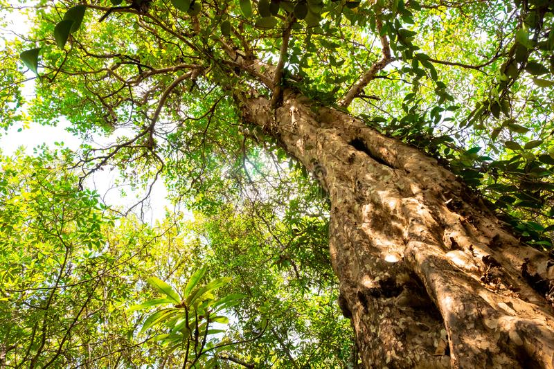 Ant eye view of Nyireh Batu tree or Xylocarpus granatum in mangrove forest background.forest and environment concept.  royalty free stock photos