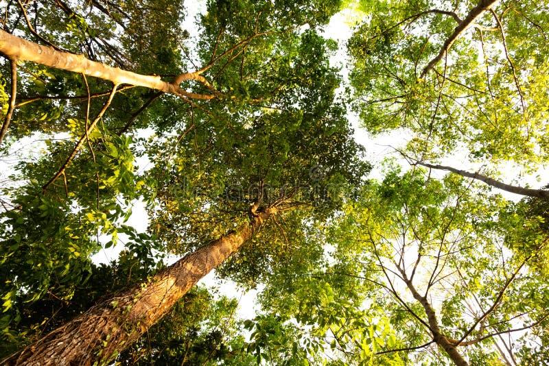 Ant eye view of Resak Tembaga tree in jungle background.forest and environment concept. Adventurebackgroundbeautifulbigblurredbottom viewbottom forestbottom stock photography