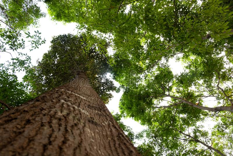 Ant eye view of Resak Tembaga tree in jungle background.forest and environment concept. Adventurebackgroundbeautifulbigblurredbottom viewbottom forestbottom royalty free stock photo