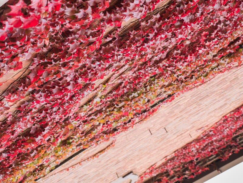 Ant Eye View van Rode Ivy Leaves Climbing op de Oude Muur royalty-vrije stock foto