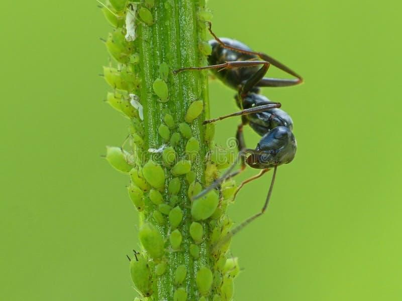 Ant Farming Aphids preto imagens de stock