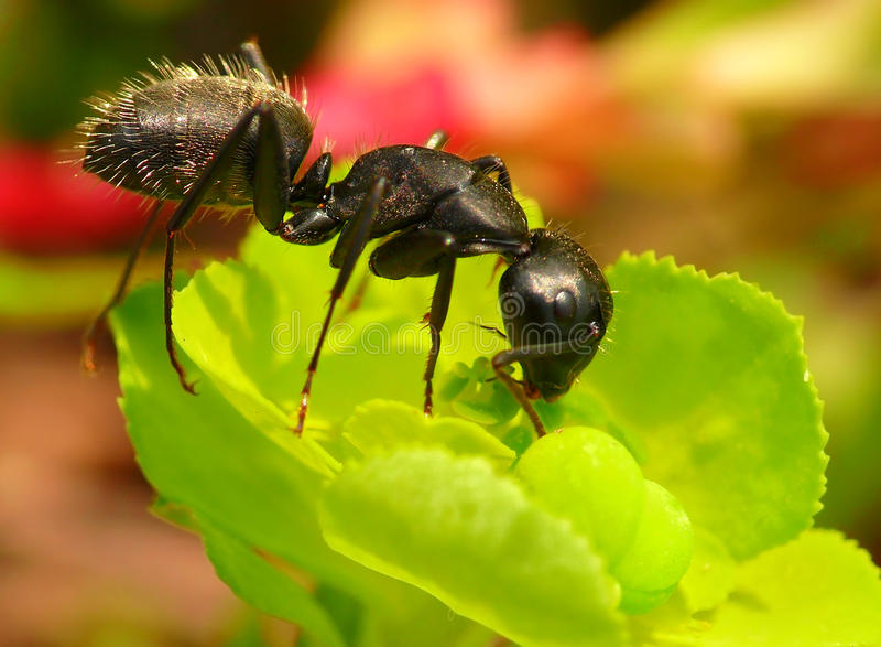 Ant with a flower. Black ant with a green flower
