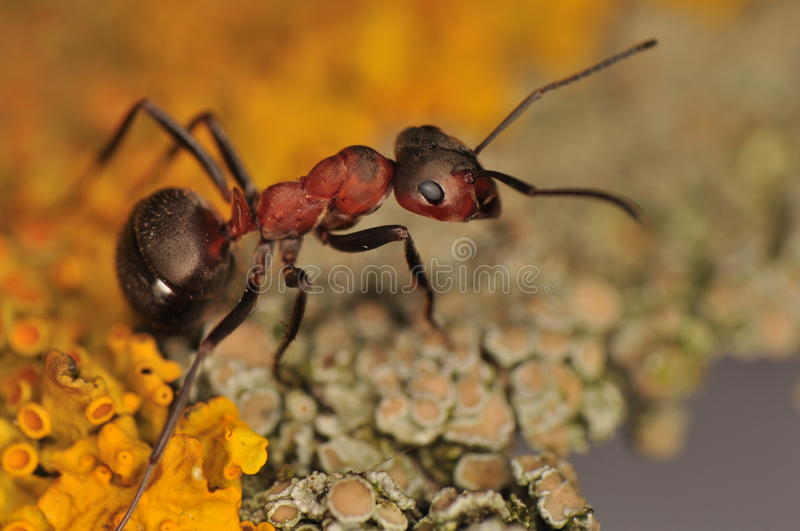 Ant - Formica. Industrious little ant up close royalty free stock images