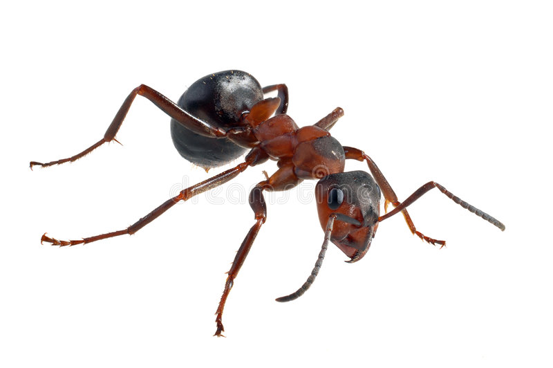Ant (Formica polyctena). Isolated on white royalty free stock photography