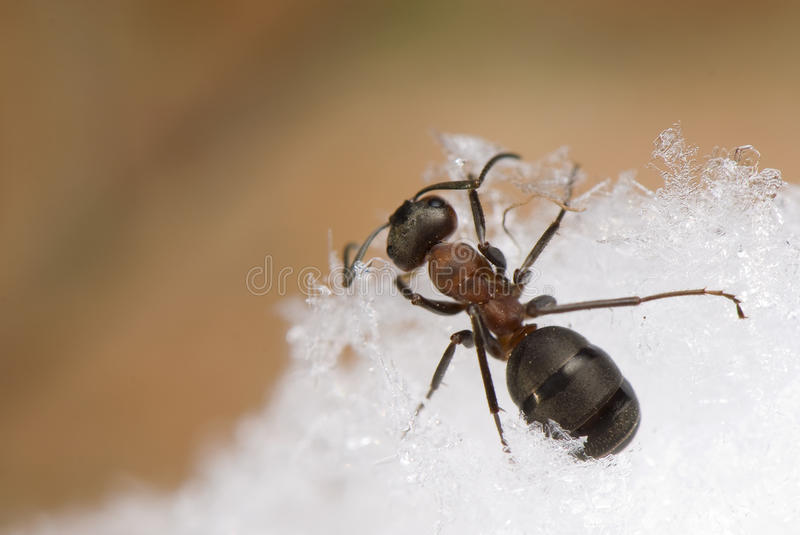 Ant - Formica rufa. Ant breaking through the snow stock photography
