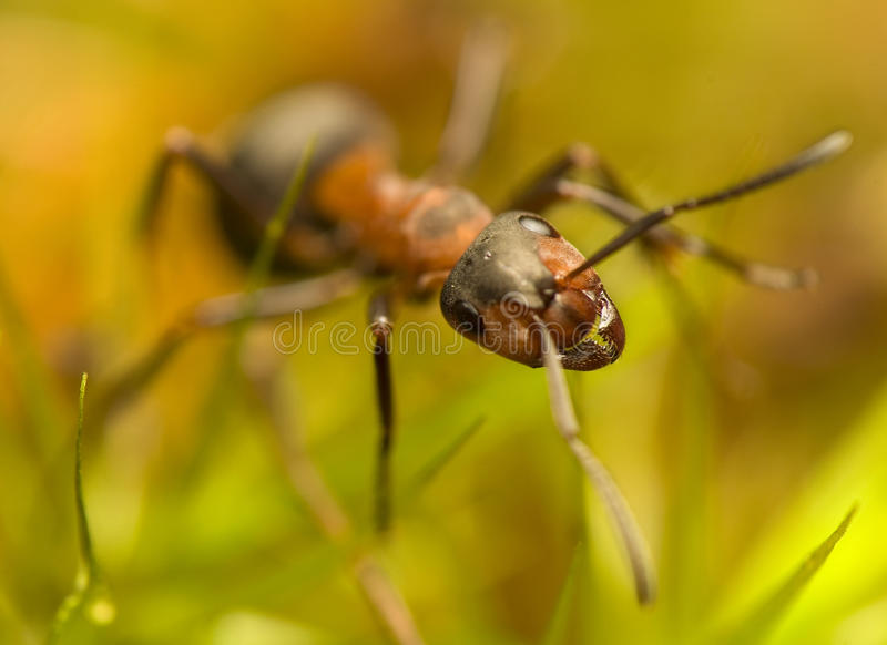 Ant - Formica Rufa Royalty Free Stock Photography