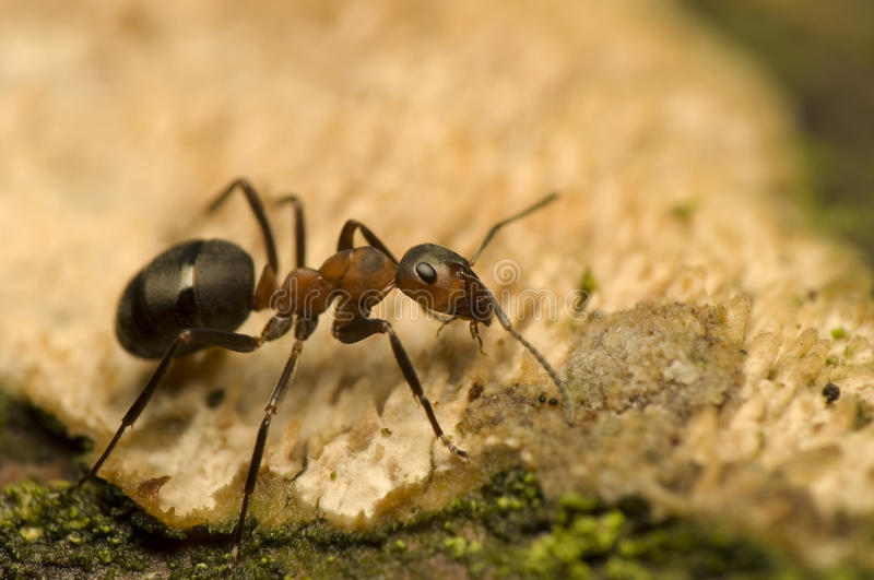 Ant - Formica rufa. Small insect among mosses royalty free stock photos