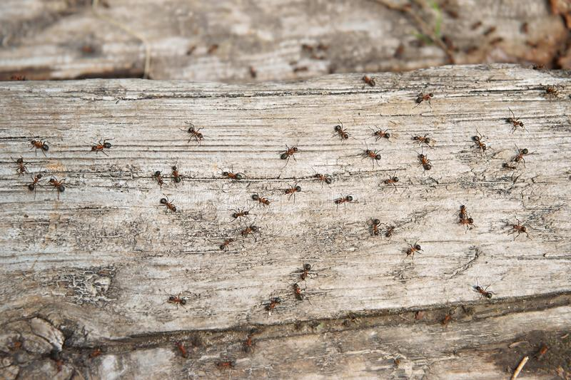 Ant Formica rufa, also known as the Red Wood Ant, Southern Wood ant or Horse Ant, is a boreal member, the photo ants on a log of. Ant Formica rufa , also known stock photo