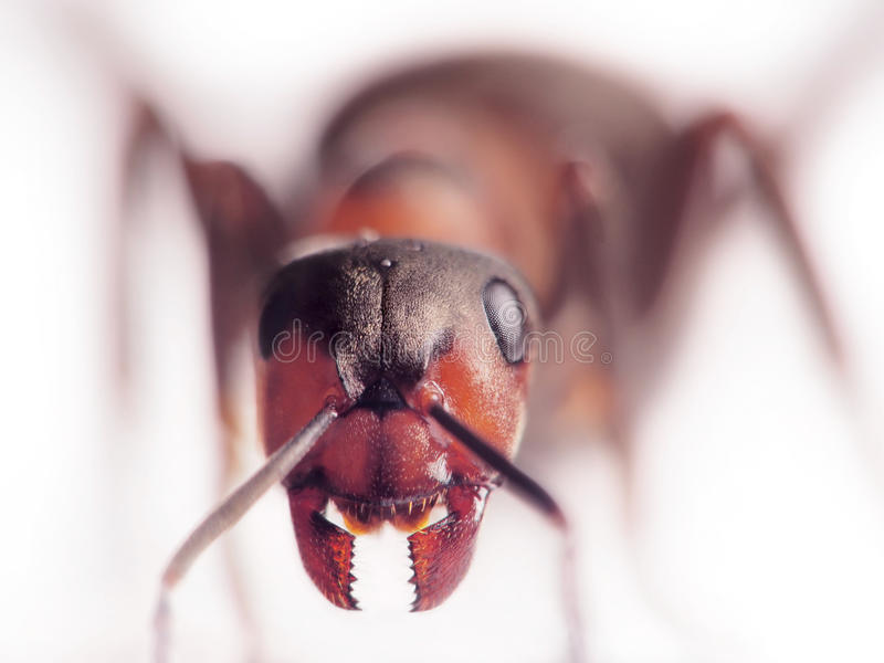 Ant formica rufa face-to-face. Red ant formica rufa face-to-face royalty free stock images
