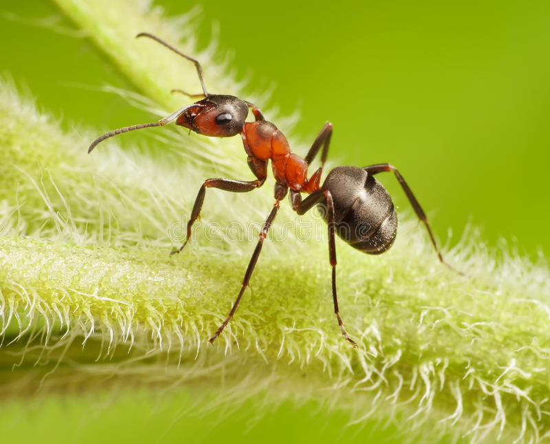 Ant formica rufa on grass. Ant formica rufa on green grass royalty free stock photography