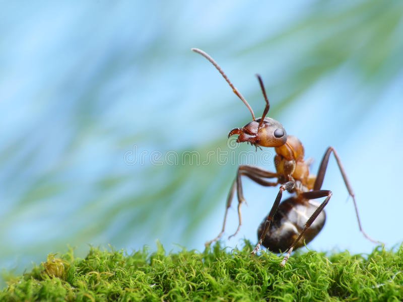 Ant formica rufa is interested. Ant formica rufa pays attention stock photos