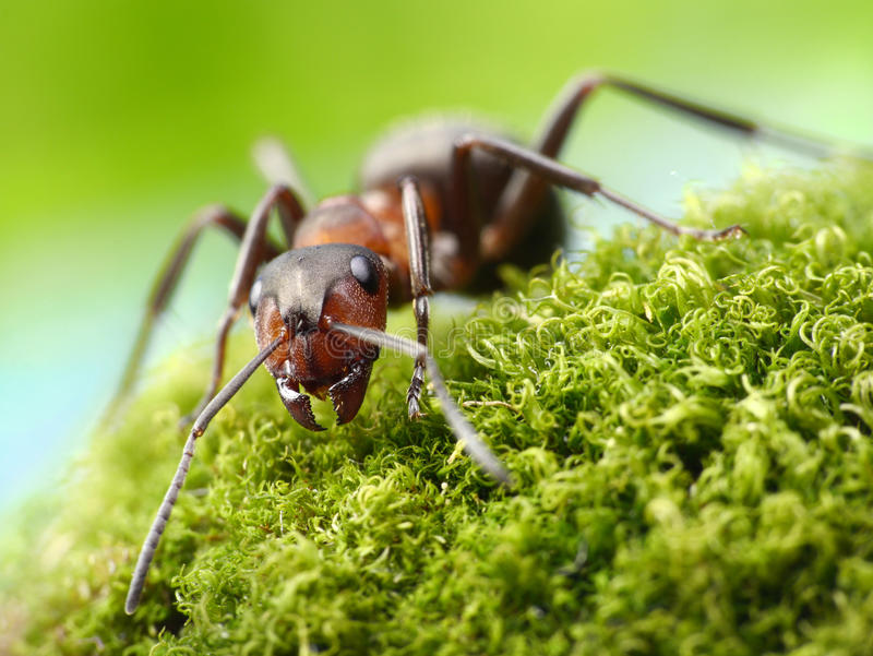 Ant formica rufa. Red ant formica rufa detailed stock photo