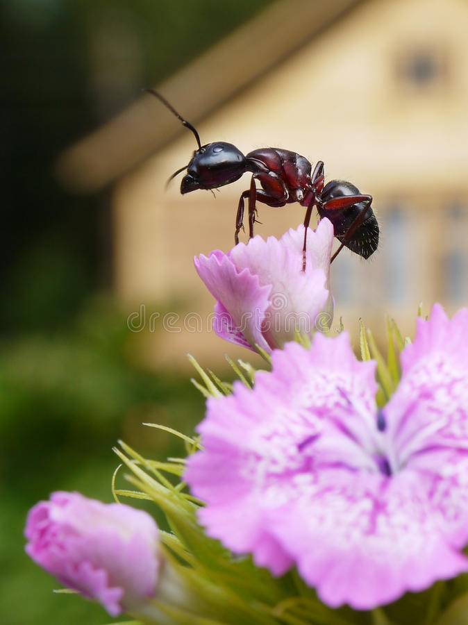 Ant in the garden. Garden ant on sweet william, summerhouse at background royalty free stock photos
