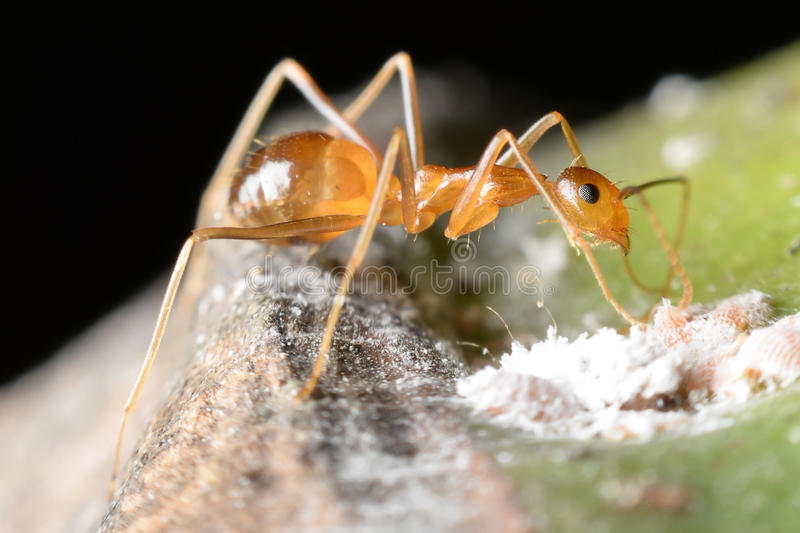 Ant. Gathering honeydew from a aphids and care in return royalty free stock photography