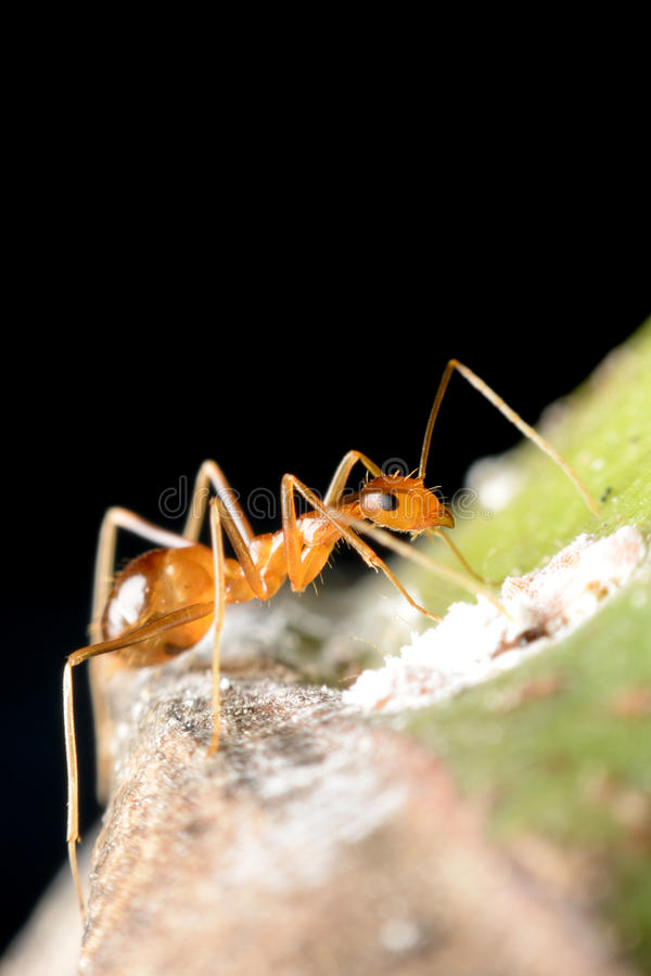 Ant. Gathering honeydew from a aphids and care in return stock photography