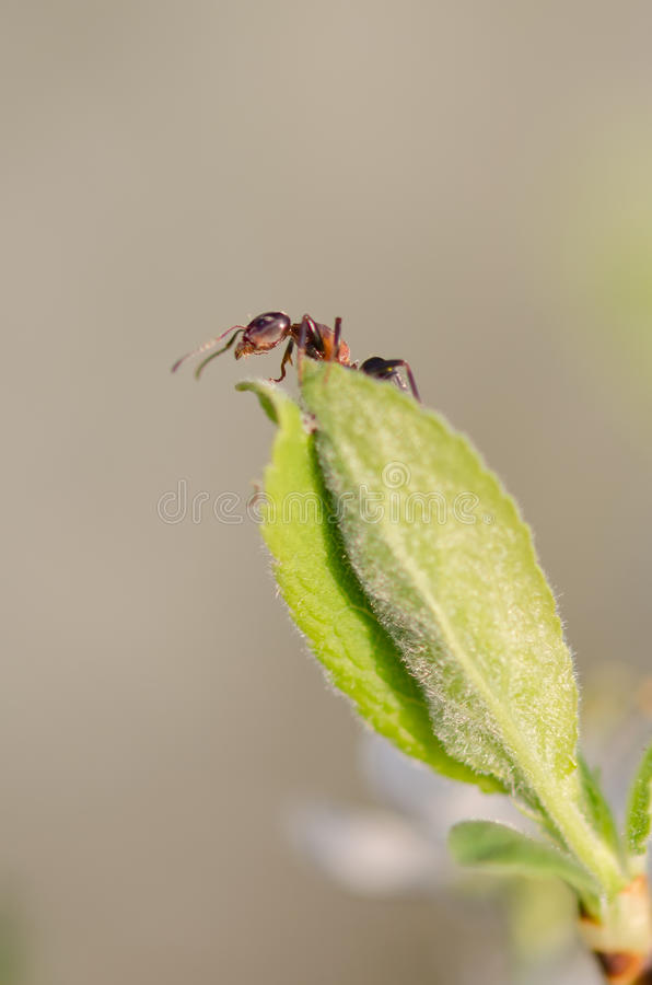 Ant On A Green Leaf Stock Image