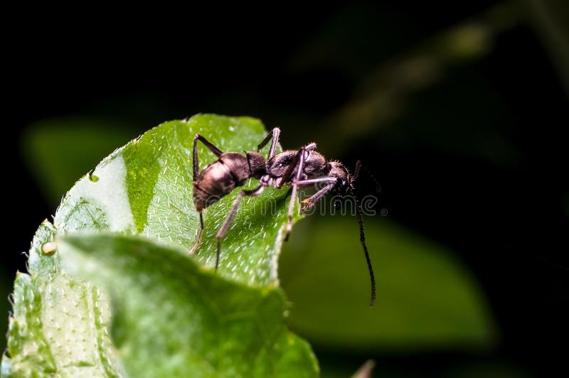 Ant on the green leaf. Close up shot of a ant on the green leaf stock photography
