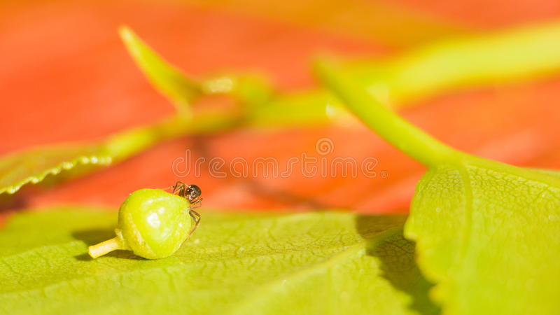 The ant on the green leaf drags the seed. Miniature world protection of the environment and fight against global warming royalty free stock photos