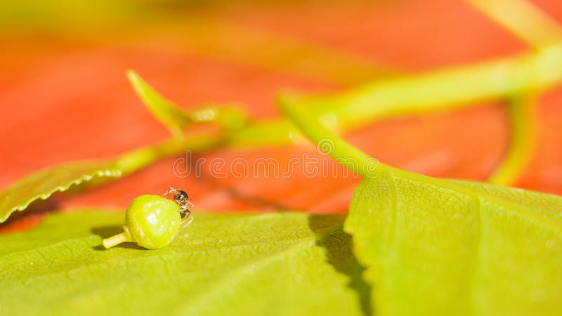 The ant on the green leaf drags the seed. Miniature world protection of the environment and fight against global warming royalty free stock photo