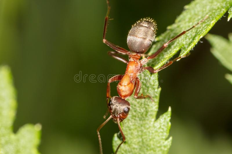 The ant is on the green leaf stock photography