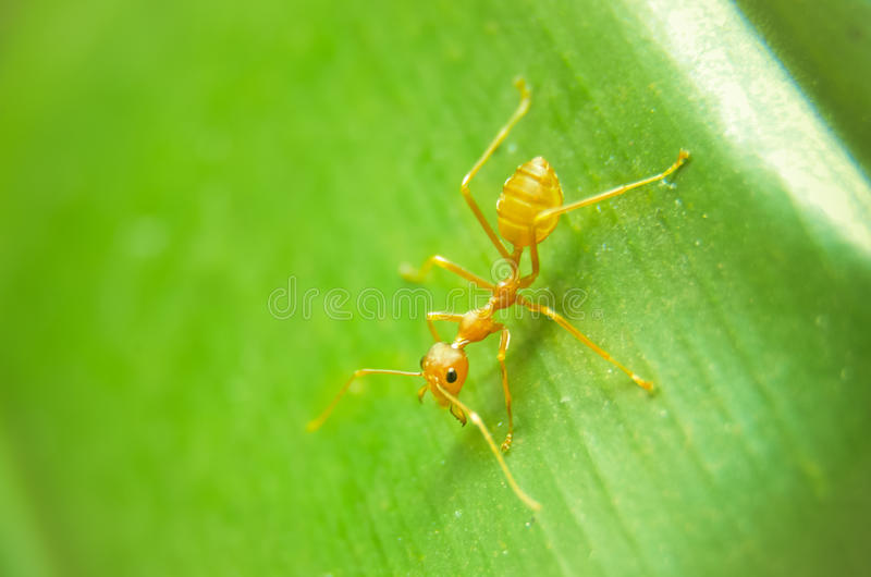 Ant on green leaf royalty free stock images