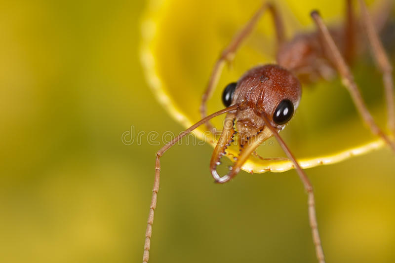 Ant head royalty free stock images