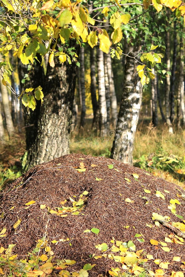 Download Ant hill. stock photo. Image of antnest, russia, ants - 11409404