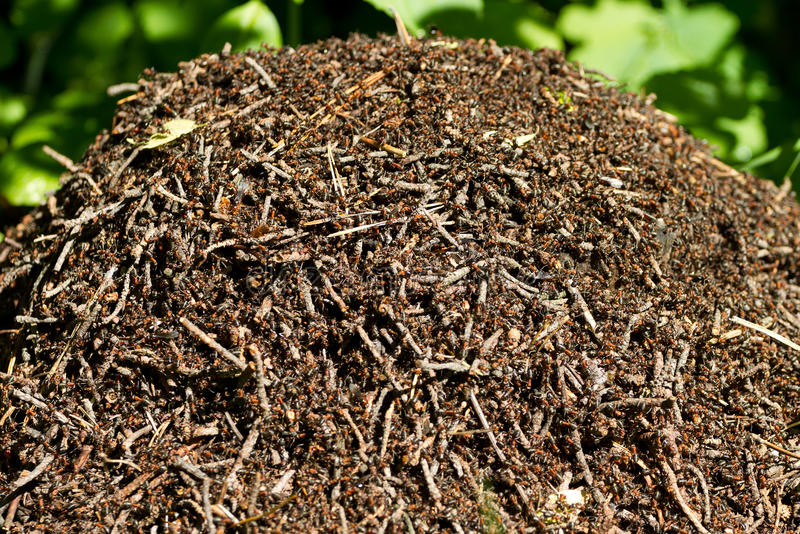 Download Ant hill stock photo. Image of twig, wild, macro, many - 41620786