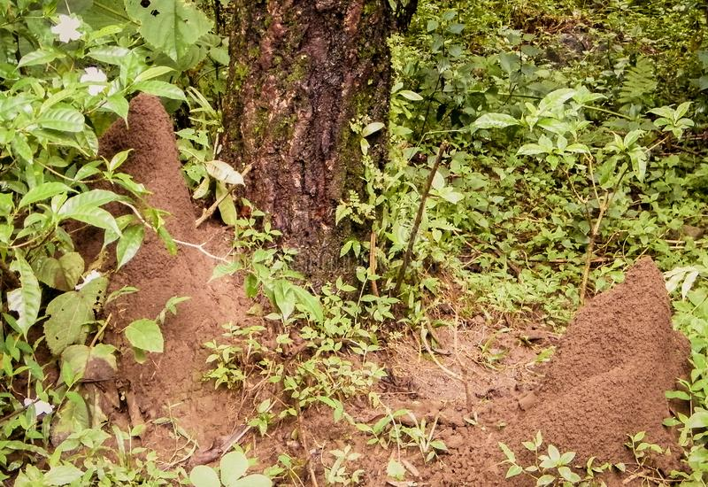 Ant house nest underground beside tree in rainforest. Millions of ants live in this colonies. Its shapes as tunnels or rooms. It. Is difficult to find ant nests stock photography