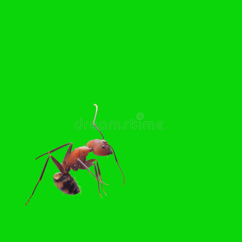 ANT isolate for background. Ant isolate with green color for background or other stock photos
