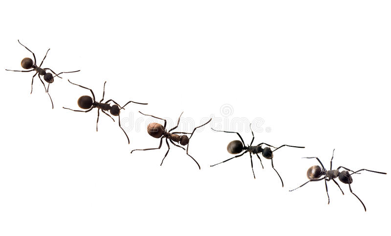 Download Ant isolated on white stock image. Image of postal, insect - 13786503