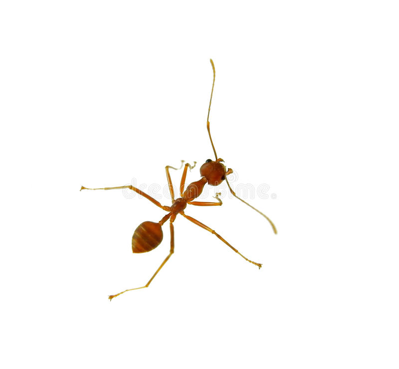 Ant isolated on white stock photos