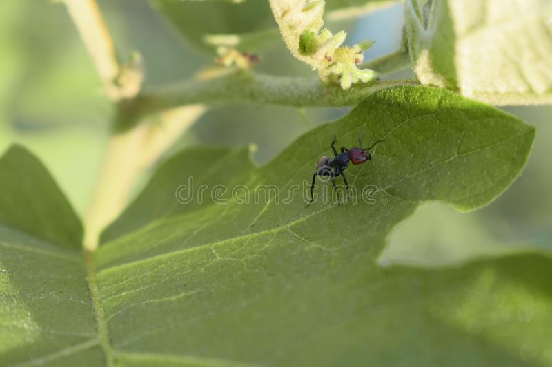 Ant on leaf. Black ant royalty free stock photos