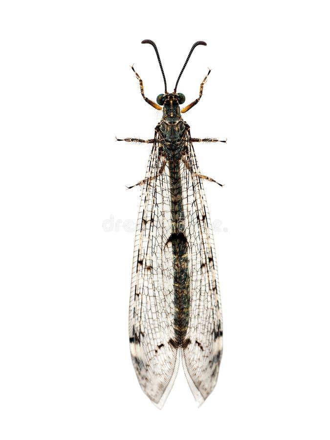 Ant-lion lacewing insekta macro nad biel fotografia stock