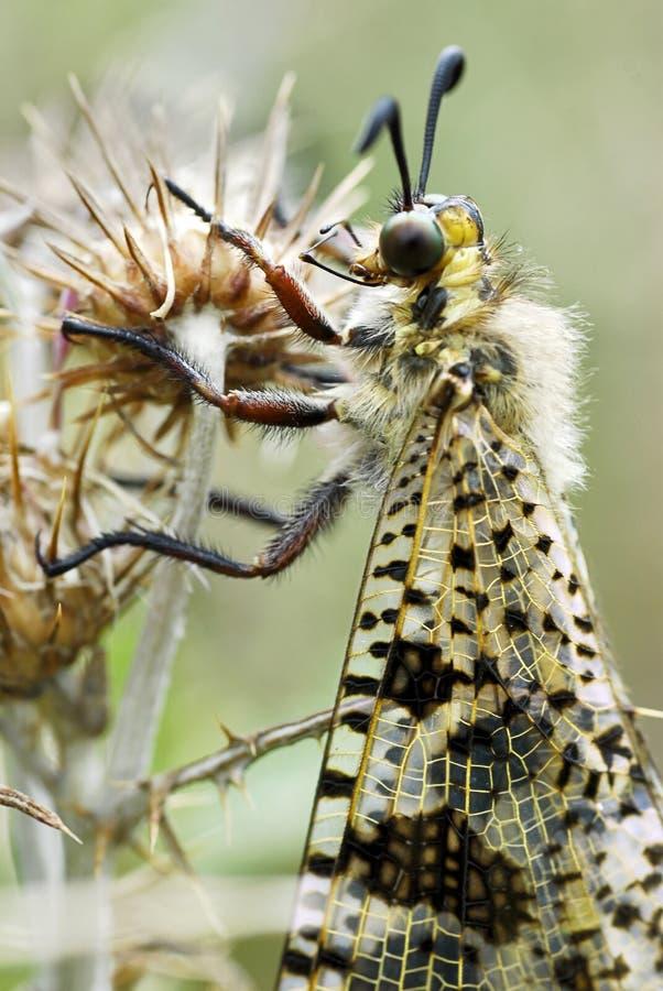 Ant-lion a macroistruzione fotografia stock