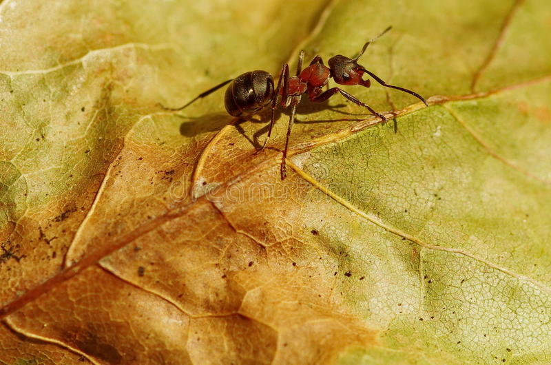 Worker ant on a leaf. Gradient background. Autumn background stock photo