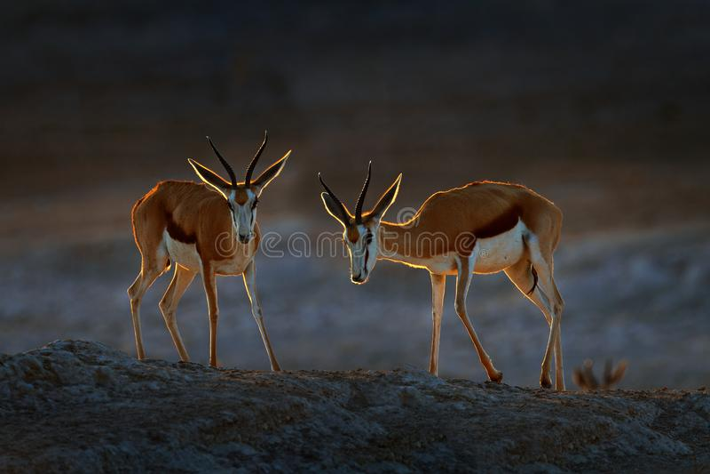 Ant?lope da gazela, marsupialis do Antidorcas, no habitat seco africano, Etocha NP, Nam?bia Mam?fero de ?frica Gazela dentro foto de stock