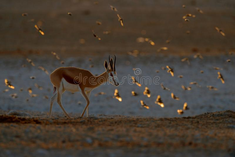 Ant?lope de la gacela, marsupiales del Antidorcas, en el h?bitat seco africano, Etocha NP, Namibia Mam?fero de ?frica Gacela aden foto de archivo libre de regalías