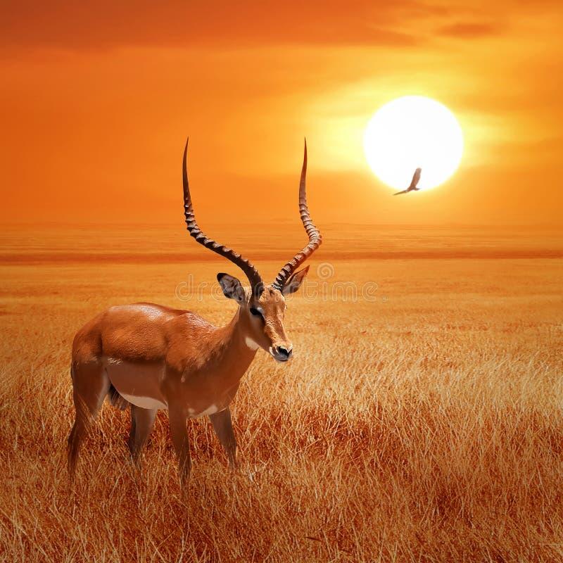 Ant?lope s? africano no por do sol bonito com os p?ssaros no parque nacional de Serengeti tanz?nia Natureza selvagem de ?frica fotografia de stock royalty free