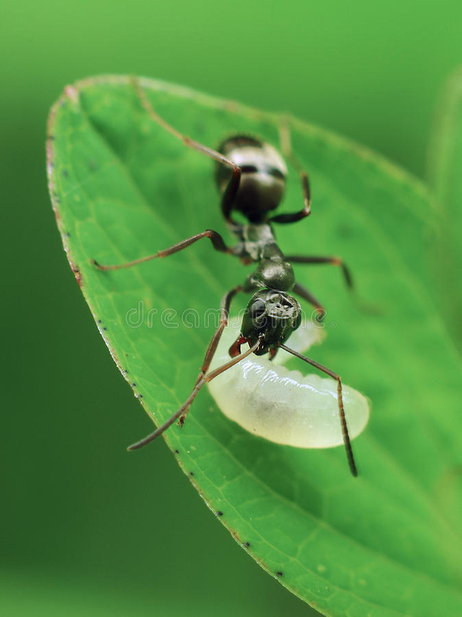Download Ant with maggot stock image. Image of baby, maintenance - 11252729
