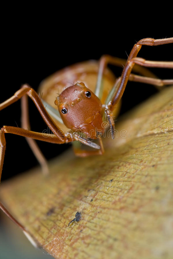Ant mimic crab spider, Amyciaea lineatipes royalty free stock images