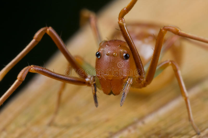 Ant mimic crab spider, Amyciaea lineatipes royalty free stock photos