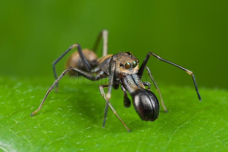 Ant-mimic jumping spider royalty free stock photography