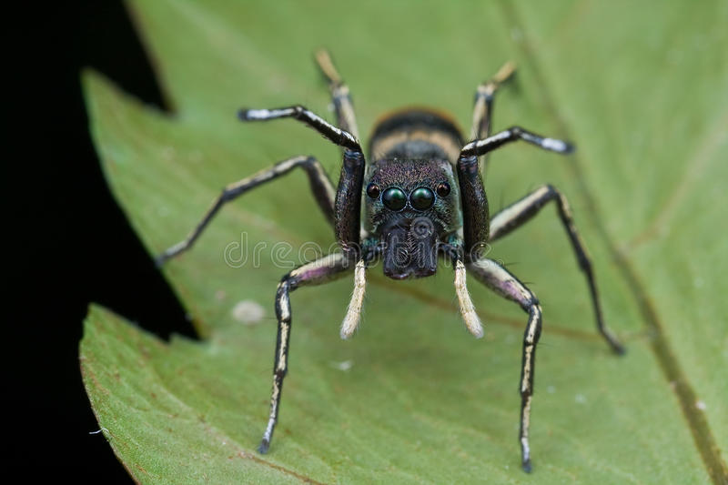 Ant-mimic jumping spider stock photos