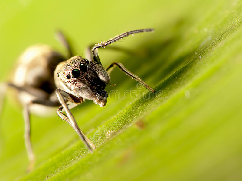 Ant-mimic jumping spider stock photography