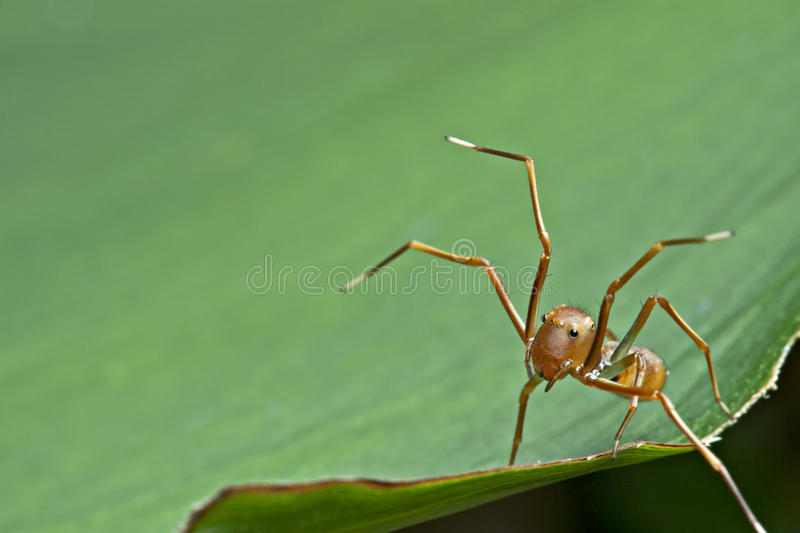 The ant mimic spider royalty free stock photo