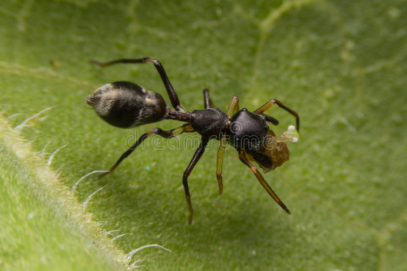 Ant mimic spider on green leaf stock photography