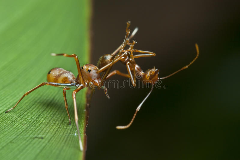 The ant mimic spider with its food royalty free stock images
