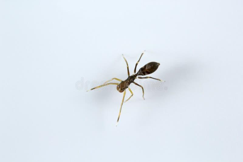 Ant mimic spider, Myrmarachne sp, Salticidae, Bangalore. Ant mimic spider, Myrmarachne sp, Salticidae Bangalore India stock image